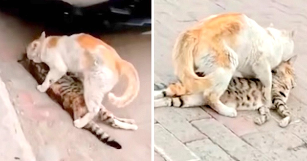 Stray Cat Trying to Save Her Dead Friend and Drags Her to Shelter (video)